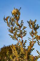 Banksia baxteri; Australian shrub flowering at Wild Ridge Organics