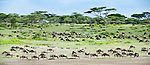 Herd of White-bearded Wildebeest (Connochaetes taurinus albojubatus) with calves in Long Gully near Ndutu. Annual Serengeti-Masai Mara migration. Ngorongoro Conservation Area, Serengeti Ecosystem, Tanzania. (digitally stitched image)
