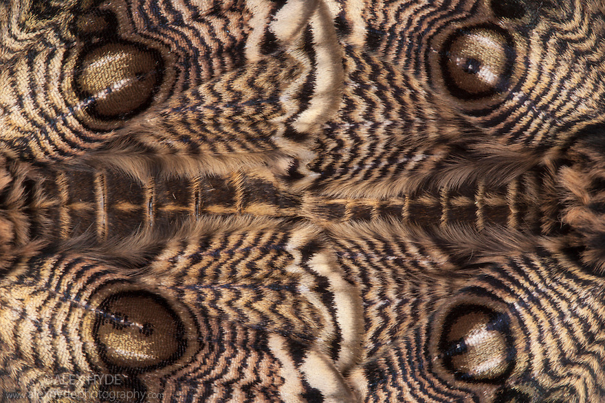Close up of overlapping wings of a mating pair of Japanese Owl Moths {Brahmaea japonica}. Captive, originating form Asia. website