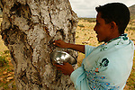 .Cinnabar's collect on Dragon's blood tree (dracanea cinnabari) on the Diksam plateau. The dried resin is used for his medicinal and  dyeing  properties Socotra island. Yemen