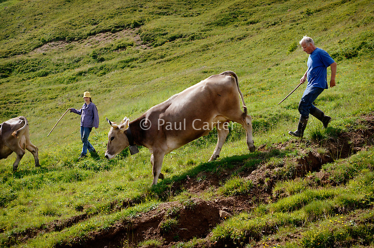 Driving the cows down from the higher alps for their afternoon milking...Cowherd and cheesemaker spends 100 days in the summer, high up in the mountains, tending cows and pigs and making cheese at Balisalp and Käserstatt near Meiringen, Switzerland.