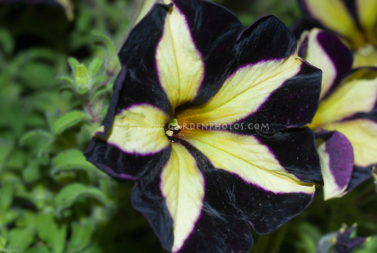 Petunia Phantom, black flowers with yellow stripes, new variety very dark with star effect in center