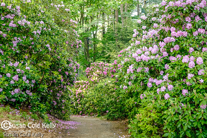Rhododendron bloom in Maudsley State Park, Newburyport, MA