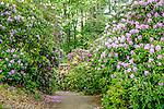Rhododendron bloom in Maudsley State Park, Newburyport, MA