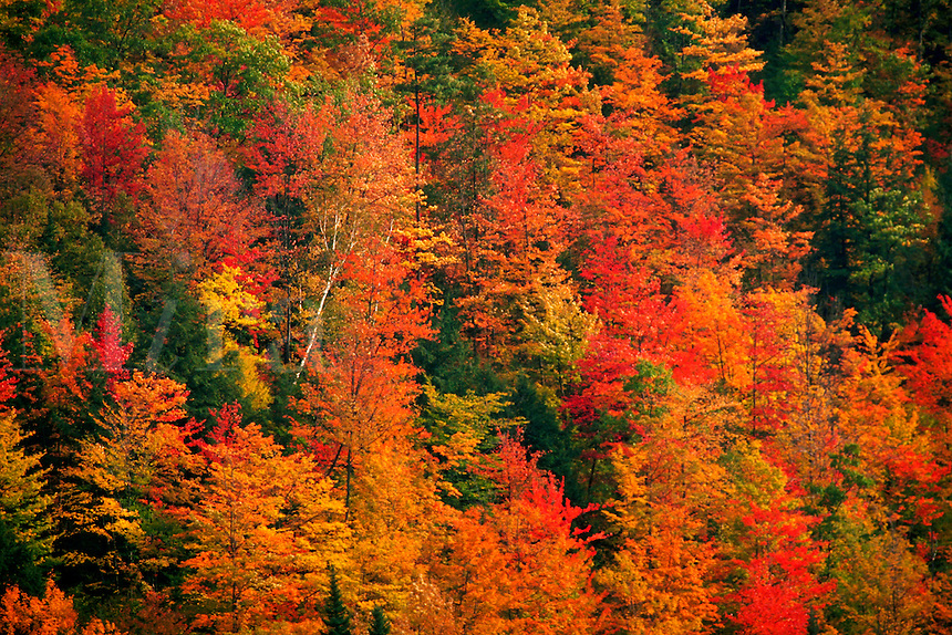 Trees showing fall foliage. Northern Vermont.