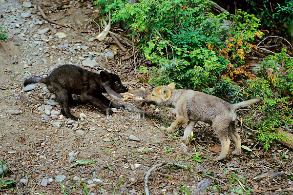 Two Gray Wolf pups play tug-of-war with a piece of fur.  (Canis lupus)