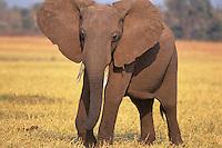 African Elephant (Loxodonta africana).  Matusadona National Park, Zimbabwe.