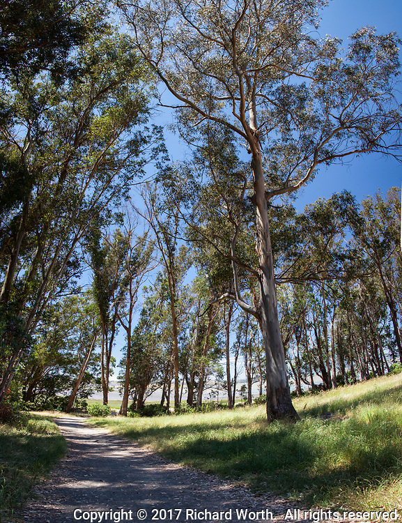 In a multi-image vertical panoramic, Eucalyptus trees stand along a path at Point Pinole Regional Shoreline along San Pablo Bay.
