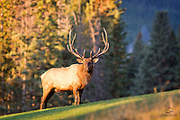 Huge bull Elk (Cervus canadensis) in the rut is all business as he oversees his harem of approximately 30 females.  Here, he's making sure the small group of photographers don't pose a threat.  Banff National Park, Alberta, Canada.