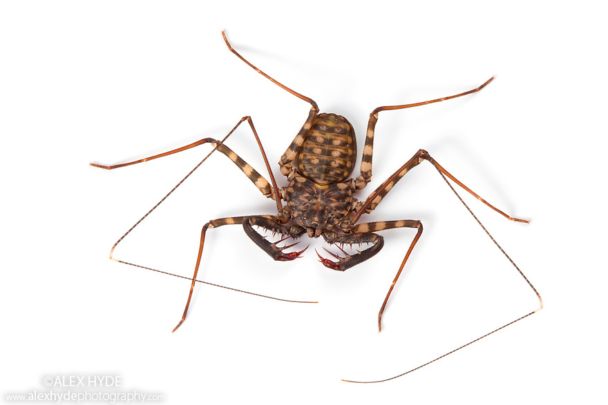 Tanzanian Giant Tailless Whipscorpion .{Damon variegatus} photographed on a white background. The highly flexible pair of whip-like legs are used to feel for prey and to detect the whipscorpion's surroundings . Captive, originating from Kenya and Tanzania. website