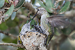 La Jolla, California; a pair of Anna's Hummingbird chicks in their nest being fed by their mother as she beats her wings to maintain balance