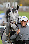 17 October 2009:  Torlundy walks in the paddock before race 3, the Appleton Hurdle Stakes at the Far Hills Race Meeting. The 4-year-old gelding (by Monarchos) finished second.  Far Hills, New Jersey.