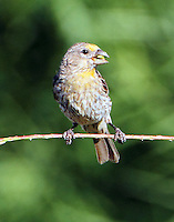 Juvenile male house finch yellow variant