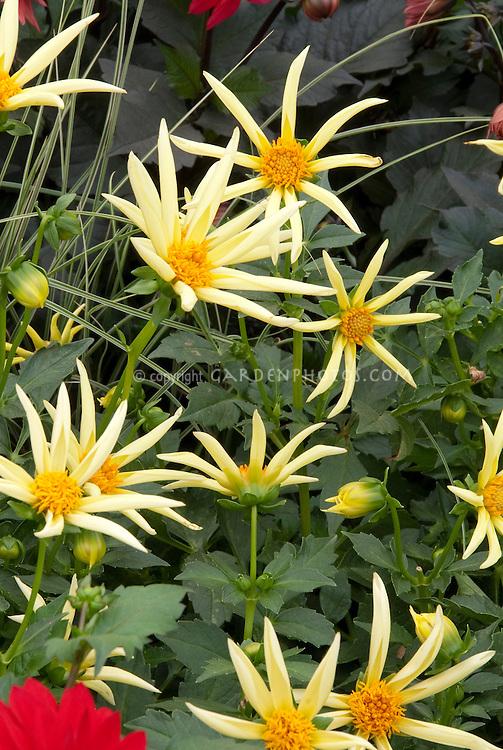 Dahlia Honka spidery yellow flowers