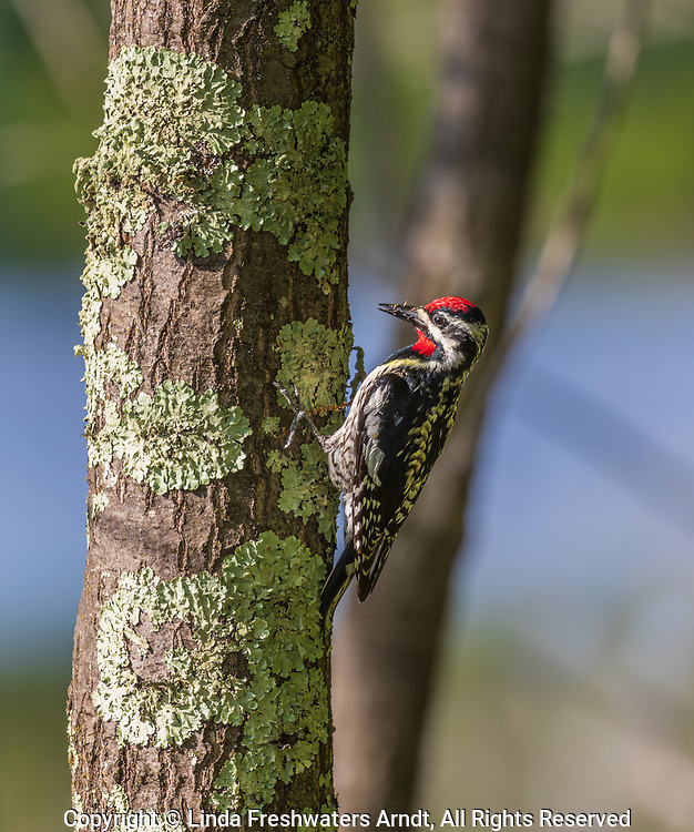Yellow-bellied sapsucker searching for insects.