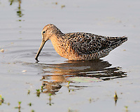 Short-billed Dowitcher, South Padre Island, TX