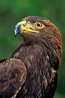 521099041 portrait of a wildlife rescue female golden eagle aquila chrysaetos a federally threatened species - hatari
