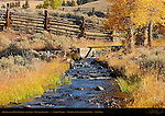 Bridge over Rose Creek, Cottonwoods in Autumn, Lamar Buffalo Ranch, Lamar Valley, Yellowstone National Park, Wyoming