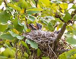 Eastern kingbird chicks in a nest in an apple tree.