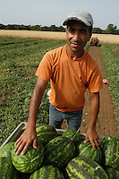 AGRI Raccolta di cocomeri. Watermelons harvest