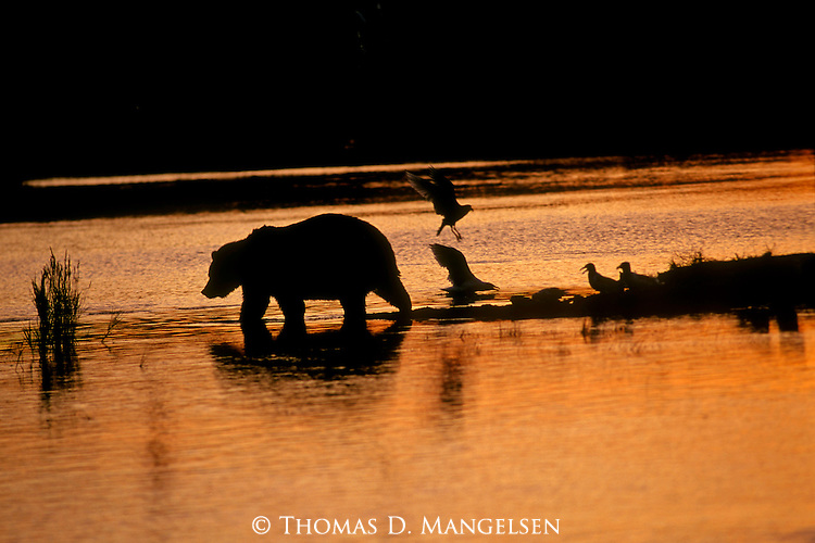 A brown bear is silhouetted by the setting sun in Katmai National Park, Alaska.