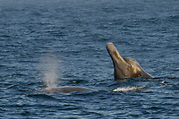 Baird's Beaked Whale, Berardius bairdii, spyhop with tooth buds & eye visible with another animal blowing at surface, Monterey Bay National Marine Sanctuary, California, Pacific Ocean