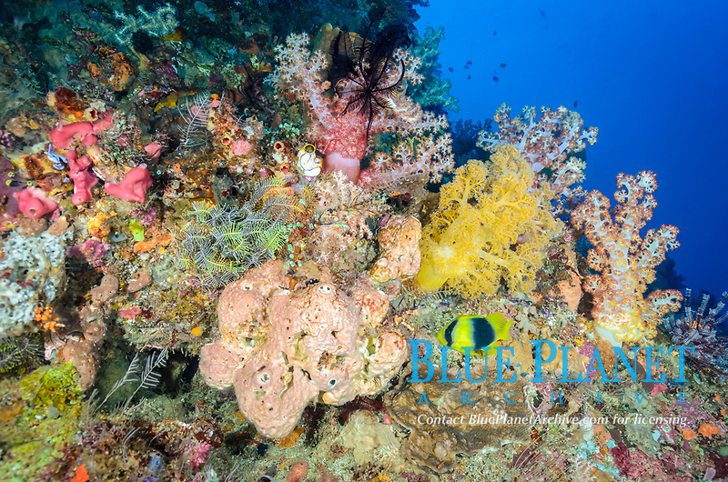 Reef scene with tree corals and Doublebanded soapfish, Diploprion bifasciatum,  North Lembeh Island, Lembeh Strait, North Sulawesi, Indonesia, Pacific