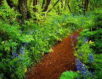 Pathway in Mount Pisgah Arboretum with blue flowers. (Delphinium trolliifolium) Oregon.