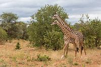 Tanzania.  Two Young Adult Maasai Giraffes  (Giraffa camelopardalis tippelskirchi), Tarangire National Park.
