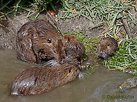 0715-0812  Family of Nutria (syn. Coypu), Myocastor coypus © David Kuhn/Dwight Kuhn Photography