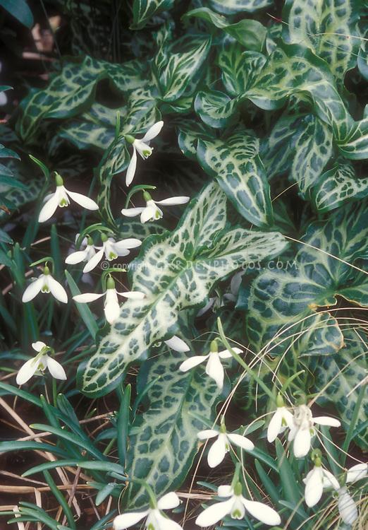 Arum italicum 'White Winter' + Galanthus in spring