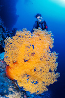 giant soft coral tree, Dendronephthya sp., and scuba diver, Coral Sea Marine Park, Australia, Coral Sea, Pacific Ocean, Pacific Ocean
