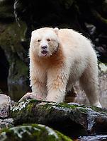 "Kermode ""Spirit"" Bear eating a salmon"