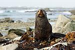New Zealand Fur Seal (Arctocephalus forsteri) bull, Kaikoura, South Island, New Zealand