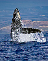A humpback whale, Megaptera novaeangliae, breaching, Hawai'i.