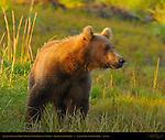 Alaskan Coastal Brown Bear in Sedge Grass at Sunrise, Silver Salmon Creek, Lake Clark National Park, Alaska