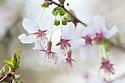 Blossom of ornamental cherry Prunus incisa, late March.