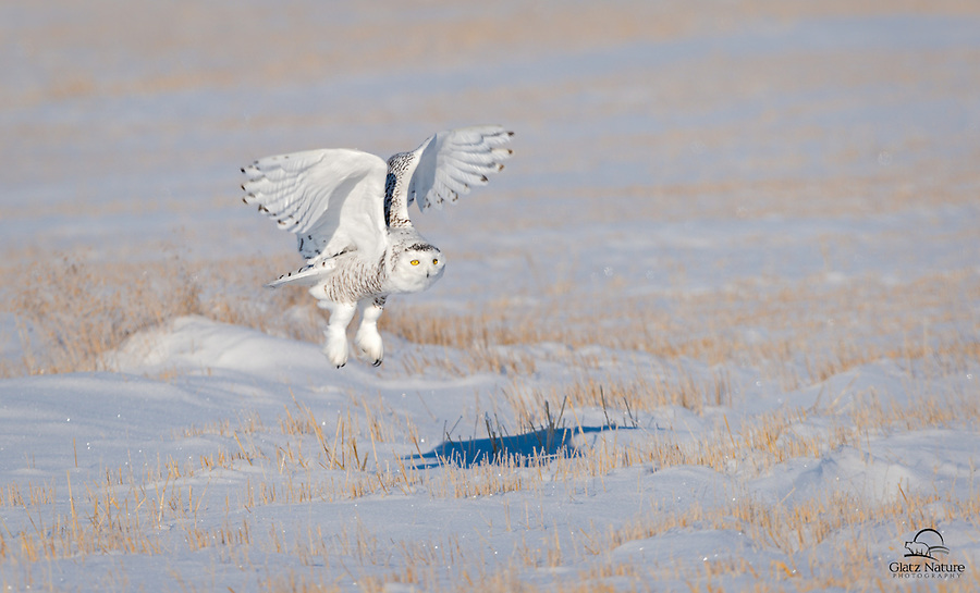 Snowy Owls like to perch in the snow while they are in search of prey.  This female Snowy (Bubo scandiacus) lifts her wings straight overhead as she launches from the snow.  Alberta, Canada.