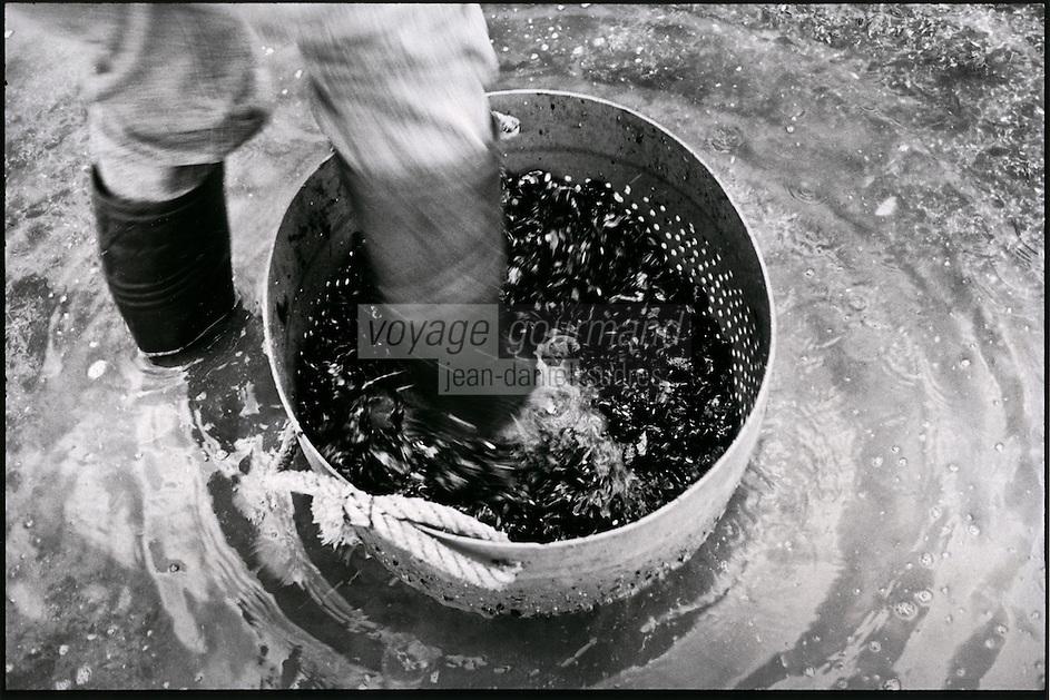 Europe/France/Nord-Pas-de-Calais/Pas-de-calais/62/ Ambleteuse: Hugues Seillier récolte les moules sauvages - le nettoyage