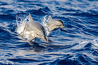 Atlantic spotted dolphin, Stenella frontalis, mother and calf, jumping, Azores, Portugal, Atlantic Ocean