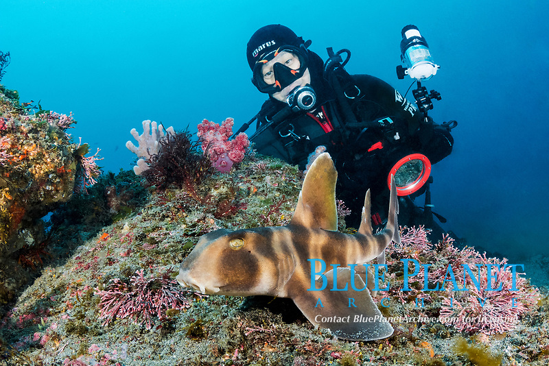 Japanese Bullhead Shark - Heterodontus japonicus - with diver. Aka Japanese horn shark. Heterodontidae. Tateyama, Chiba, Honshu, Sea of Japan.