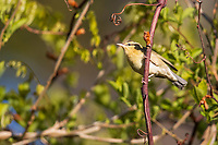 Worm-eating Warbler (Helmitheros vermivorum) on its breeding territory at Doodletown, Bear Mountain State Park, New York.