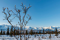 Spring Landscape of pussy willow with background of the snow-covered Chugach Mountains in the Tahneta Pass Glacier-View area of Southcentral, Alaska <br /> <br /> Photo by Jeff Schultz/  (C) 2020  ALL RIGHTS RESERVED