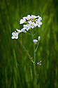 Cuckooflower (Cardamine pratensis), early May. It takes its name from the fact that it is usually in flower at about the same time as cuckoos can be heard. Also known as Lady's-smock or Milkmaids.