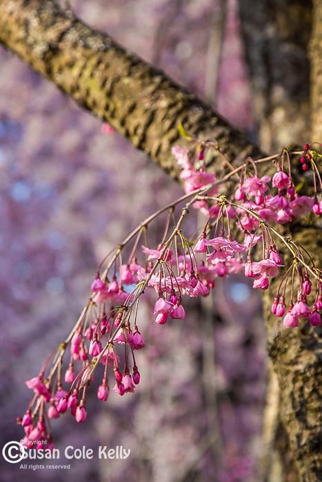 Weeping Higan Cherry blossoms at the Arnold Arboretum in Jamaica Plain, Boston, Massachusetts, USA