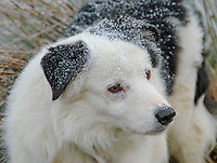 A Border Collie sheepdog with snow settled on him, Whitewell, Lancashire