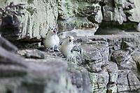 Angry Fulmars