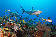 Caribbean reef sharks, Carcharhinus perezi, and yellowtail snappers, Ocyurus chrysurus, swimming over coral reef, Grand Bahamas, Bahamas, Caribbean Sea, Atlantic Ocean