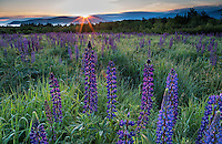Sunrise over lupine field, Sugar Hill, White Mountains, New Hampshire