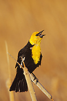 Yellow-headed Blackbird singing spring territorial-mating song.  Bowdoin National Wildlife Refuge, Montana. May.